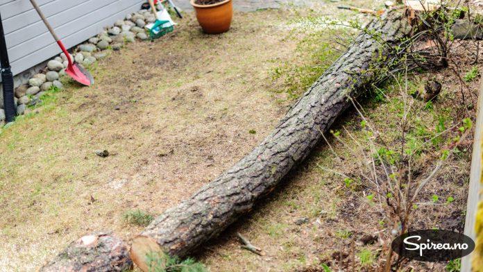 Skal du felle trær, bør det gjøres før du begynner å anlegge hagen.
