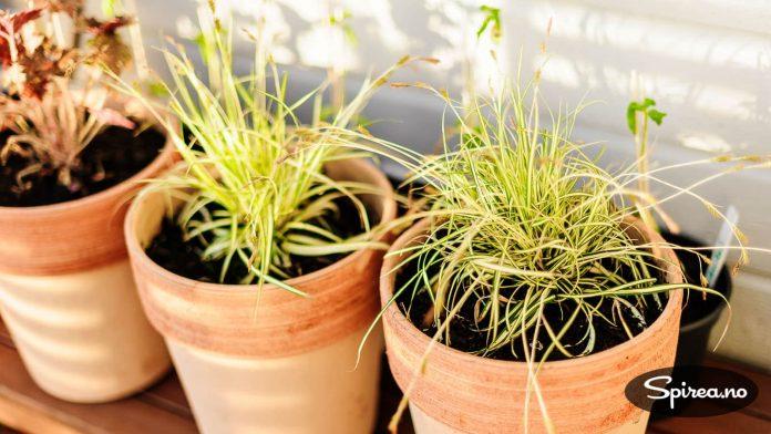 Prydgress er fint i krukker. Litt vanskelig å overvintre, så det kan være lurt å plante dem ut i hagen utpå sesongen.