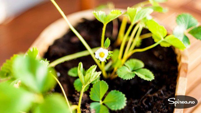 Jordbær kan fint dyrkes i krukker, da får du ha dem i fred for sneglene også.