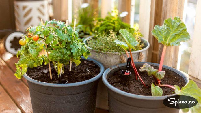 Her skal det dyrkes både tomater og rabarbra.