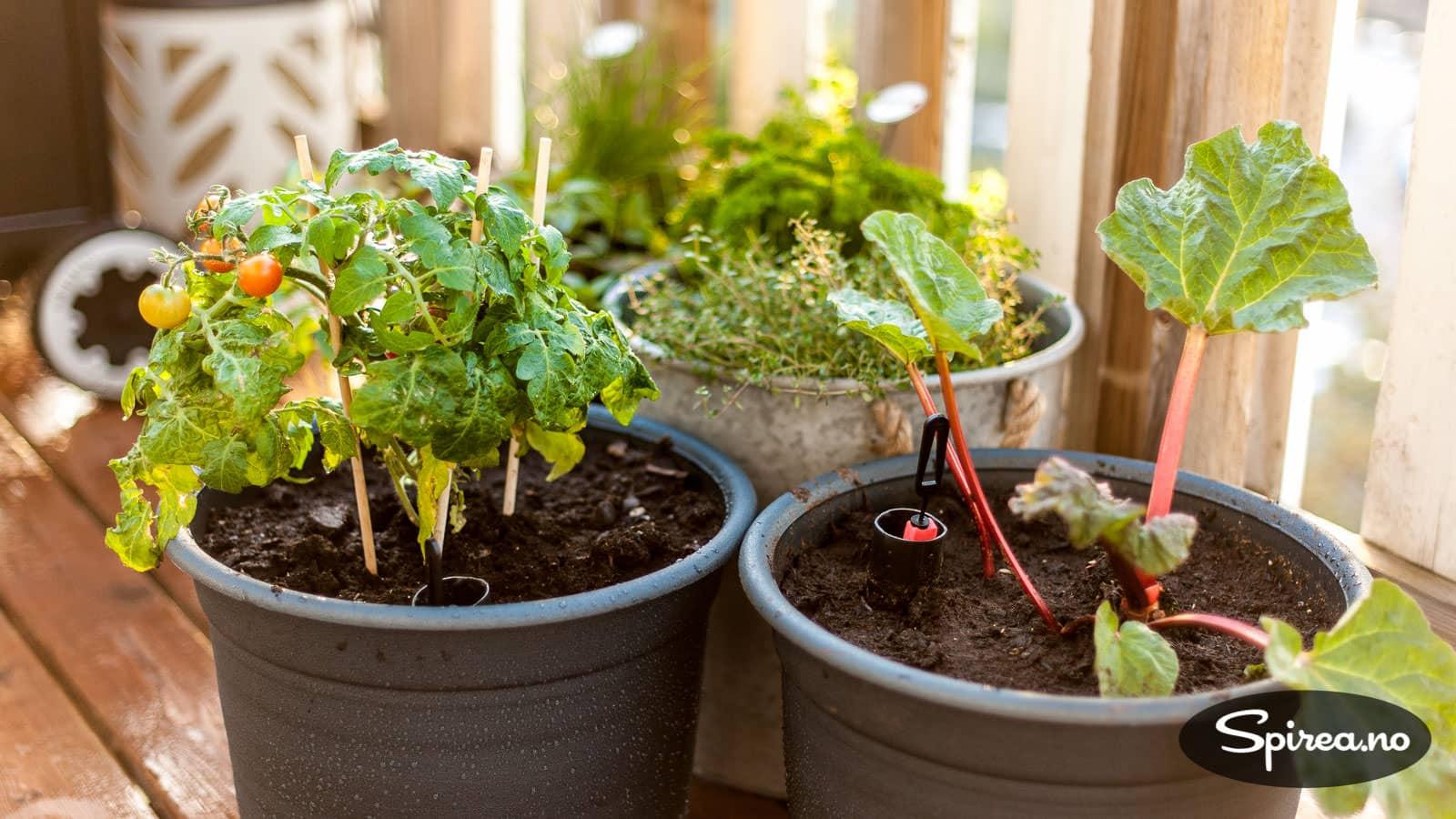 Kjøpe rabarbra plante