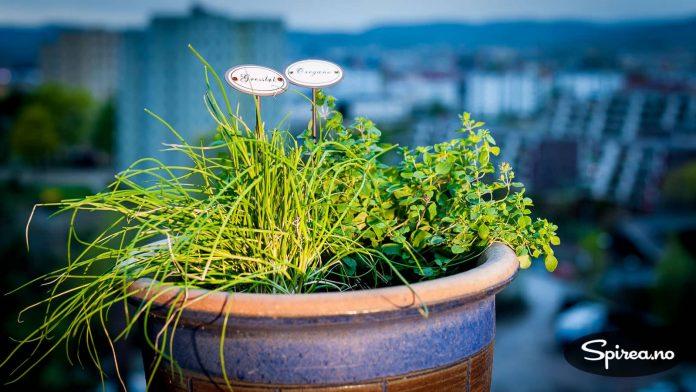 Gressløk og oregano er hardføre planter som klarer seg fint i en krukke ute.