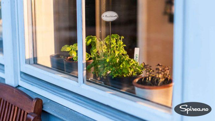 Har du ikke plass ute, kan du ha krydderplantene i vinduskarmen.