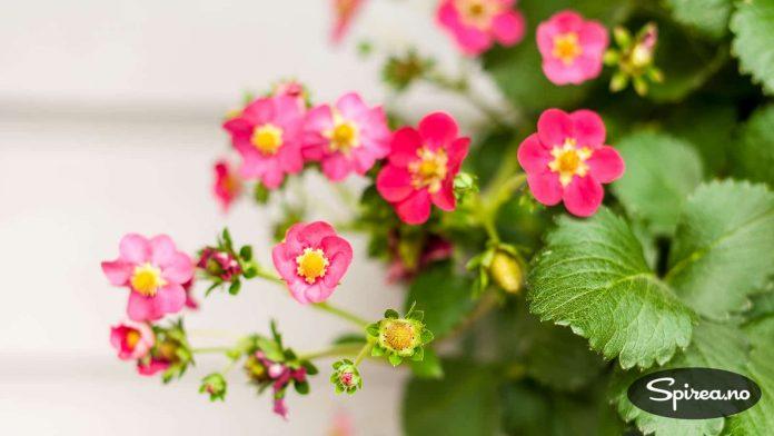 Jordbærsorten Tristan har rosa blomster og er pen også som prydplante.