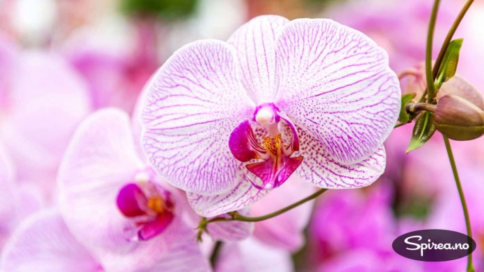 Orkideer kan du fint bruke inne selv om du har allergi.