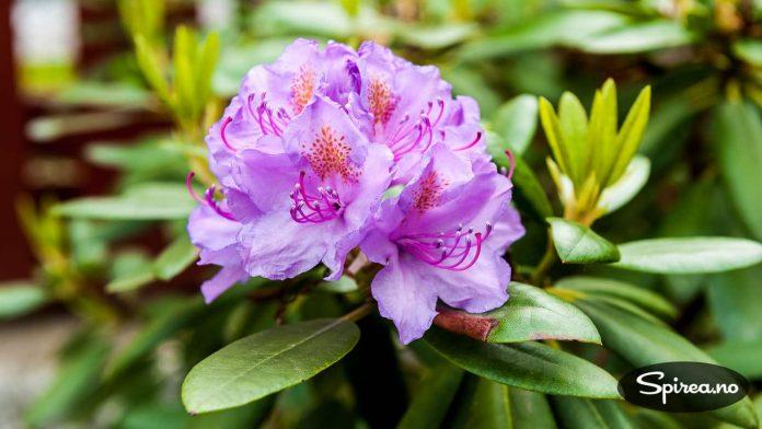 Rhododendron har ikke allergener.