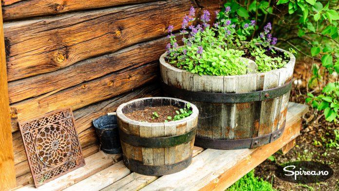 Ved stabbursveggen er salvie plantet i noen gamle og veldig stilige tønner.