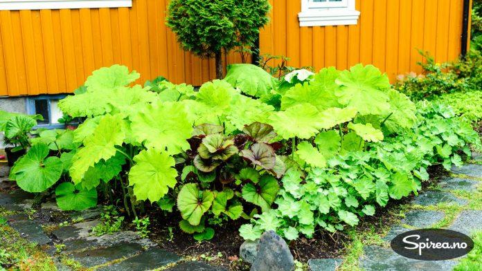 Rodgersia i flere varianter. Bjørg og Lars liker planter med store blader.