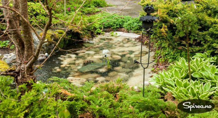 Her i dammen, mellom alle de vakre, grønne plantene, trives karpene til Lars.