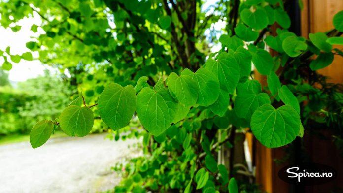 Hjertetreet har bladverk som lukter pepperkaker, og får nydelige høstfarger.