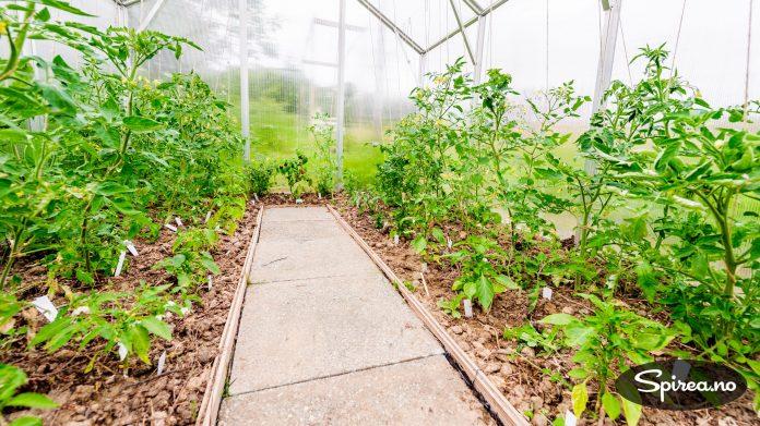 Tommy og Kenneth har fått best avling i drivhus, men det går an å dyrke ute i friluft også.