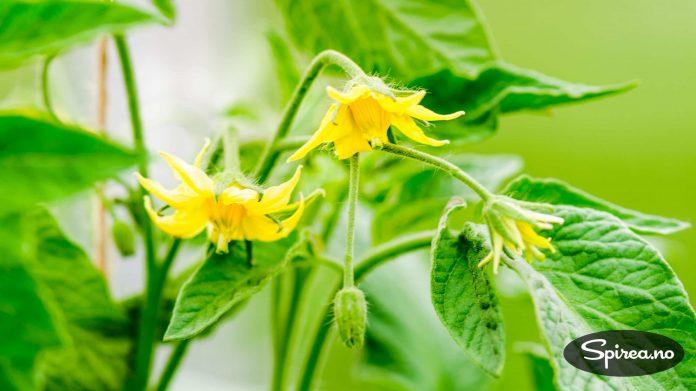 Blomstringen gir løfter om god tomatavling!