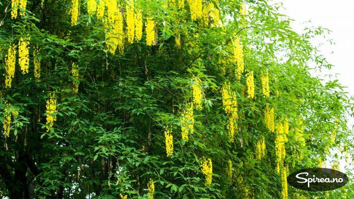 I mai-juni blomstrer gullregnen hos oss.