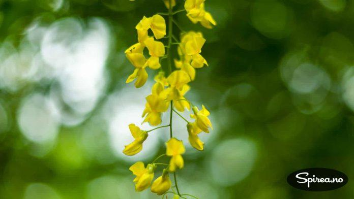 Vakker, men giftig blomst på gullregnen.