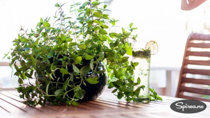 Mynte bør stå alene i en krukke, hvis ikke tar den nuven av de andre plantene.