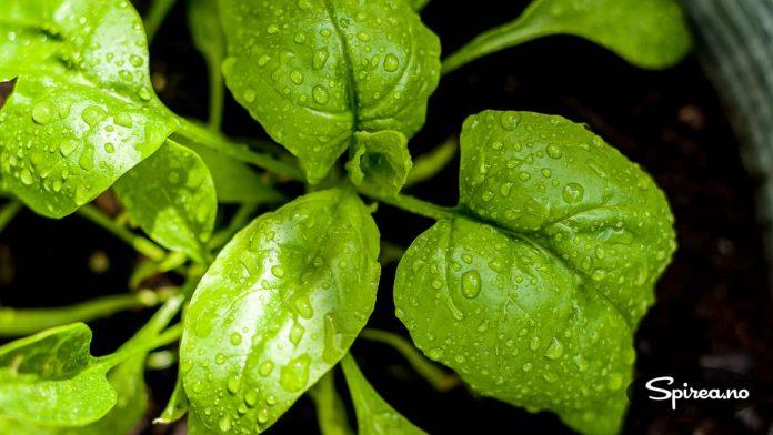 Babybladene på spinat kan spises rå, voksne blader er for eksempel fine å smørdampe.