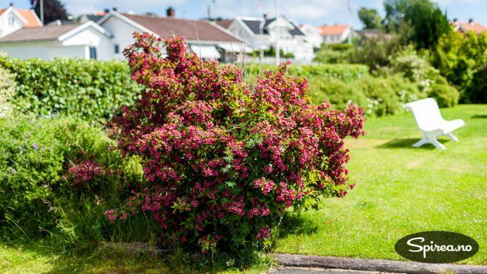 Klokkebusk (Weigela) med et vell av røde blomster.