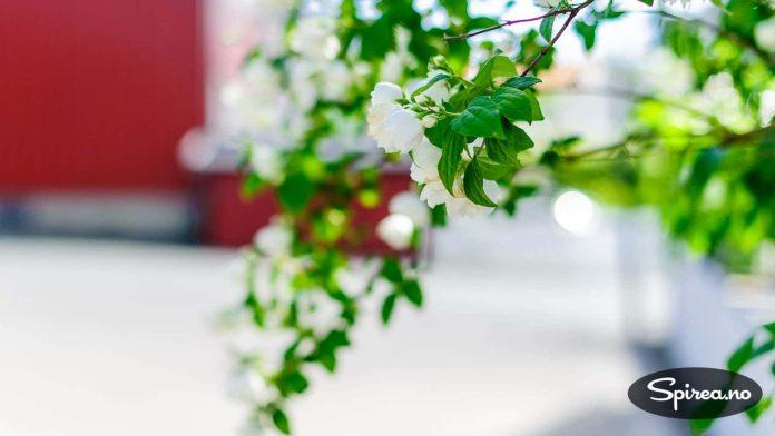 Duftskjærsmin (også kalt duftsjasmin), Philadelphus coronarius er en veldig flott blomstrende busk.