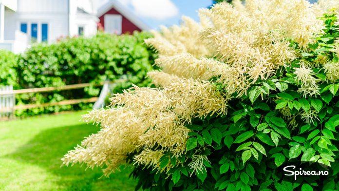 Skogskjegg er en klassisk staude fra oldemors hage.