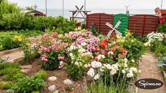 På Helgoland finner du mange flotte rosehager.