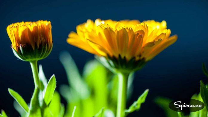 De gule blomstene er faktisk spiselige! Prøv dem i salaten, da vel.