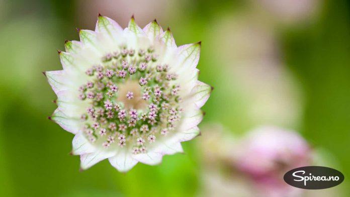 Stjerneskjerm: Astrantia er vakker også på nært hold.