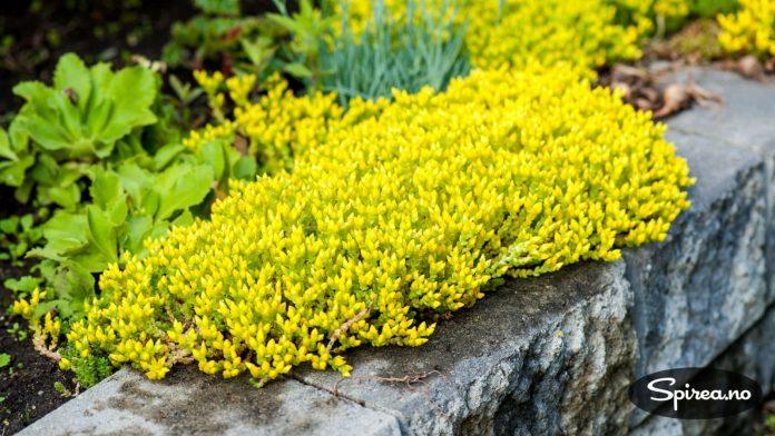 Bergknapp: Sedum med gule blomster, klarer seg uansett hvor skrint det er.