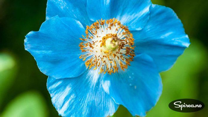 Favoritten: Blå valmuesøster (Meconopsis) er en av de vakreste staudene vi vet om.