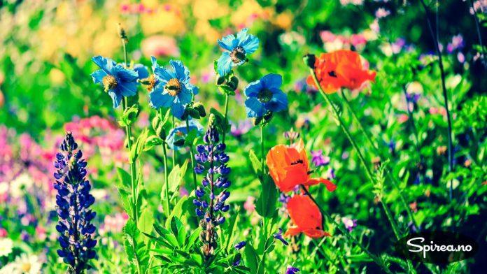 FIn blanding: I et klassisk staudebed er flere sorter plantet sammen.