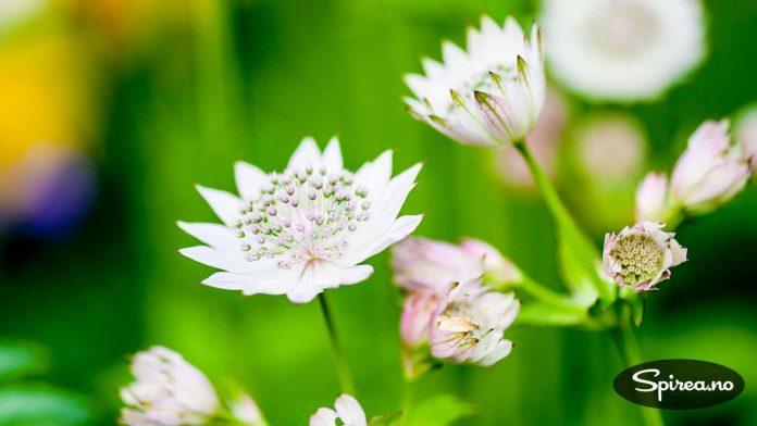 Stjerneskjerm: Astrantia er det latinske navnet på stauden som blomstrer fra sankthans til langt utpå høsten.