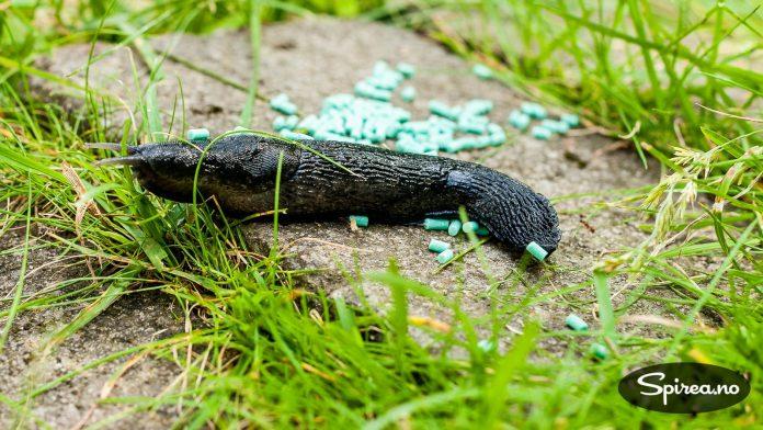 Hvis sneglene spiser Ferramol, vil de grave seg ned og dø.