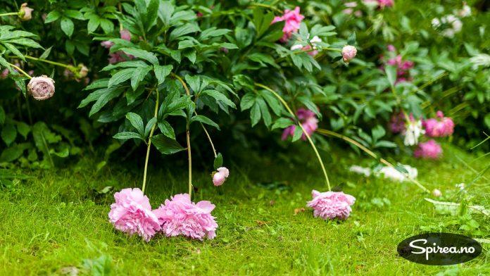 Blomstene er store og tunge, og peoner trenger ofte litt støtte.