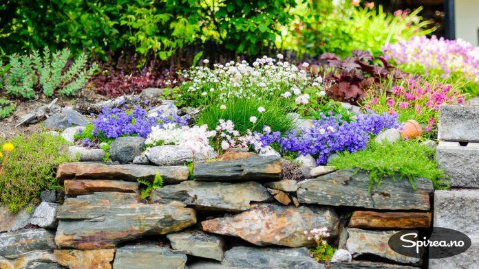 Lekkert steinbed med blant annet fjørekoll og en av våre staudefavoritter: Rødbladet alunrot.