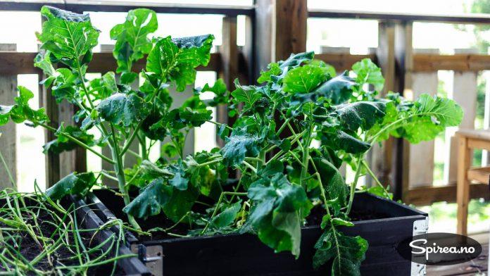 Vi dyrket brokkoli i en pallekarm.