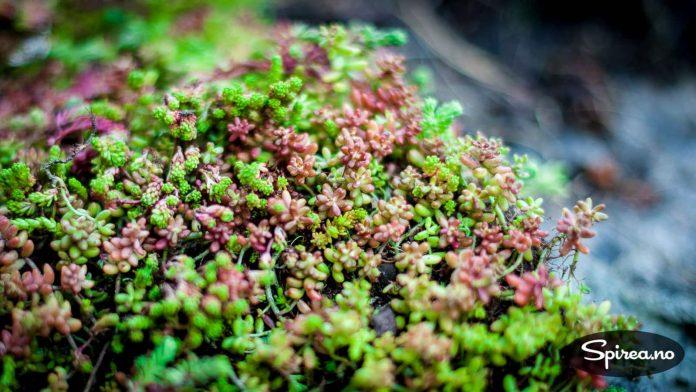 Sedum er sukkulente og tørketålende planter som passer godt på steder du ikke får andre ting til å gro.