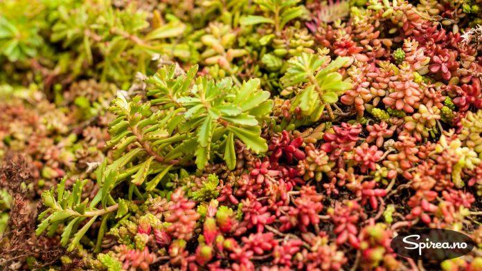 Sedum er sukkulente planter som får flotte blomster.