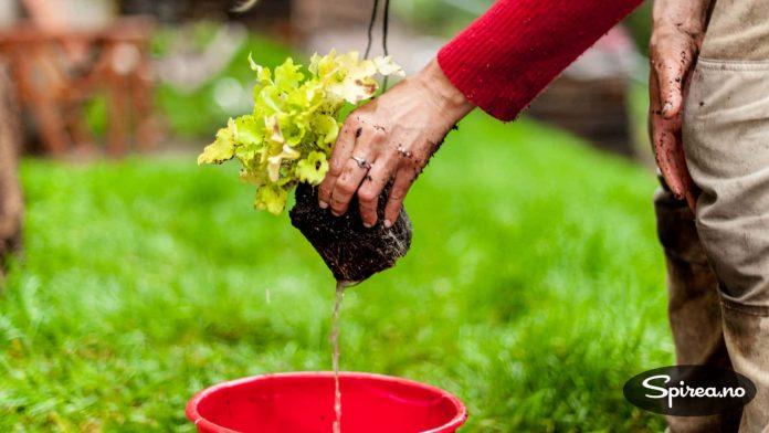Dypp gjerne potten i en bøtte med vann før du planter.
