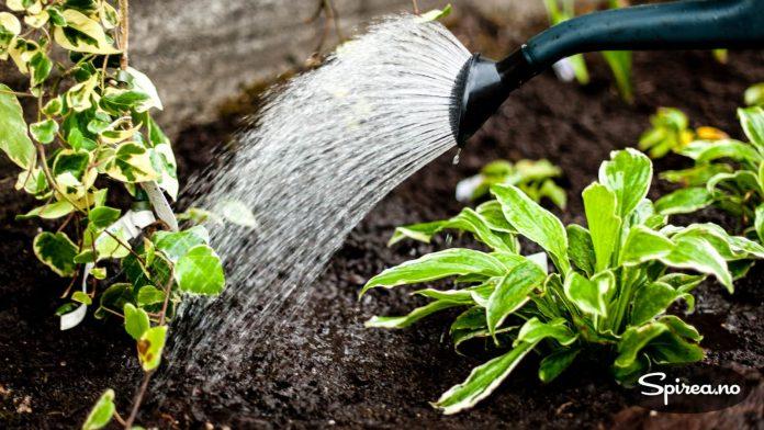 Det er viktig å vanne godt ved planting, også hvis du planter om høsten.