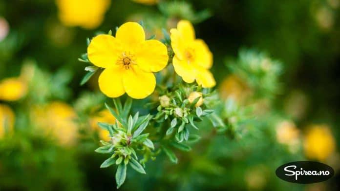 Hvis du synes gult er kult, er Potentilla, eller buskmure som den heter på norsk, noe for deg.