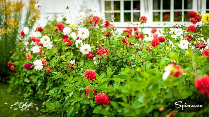Disse georginene har blomstret hvert år i over hundre år!