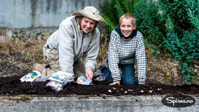 På dette feltet er det ikke nok jord til å plante busker, derfor setter vi heller løk.