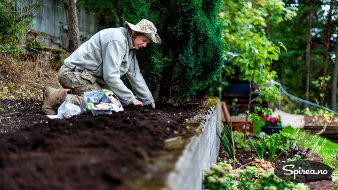 Fyll på med ekstra jord og gjerne kugjødselkompost dersom det ikke er bra jord der du setter løkene.