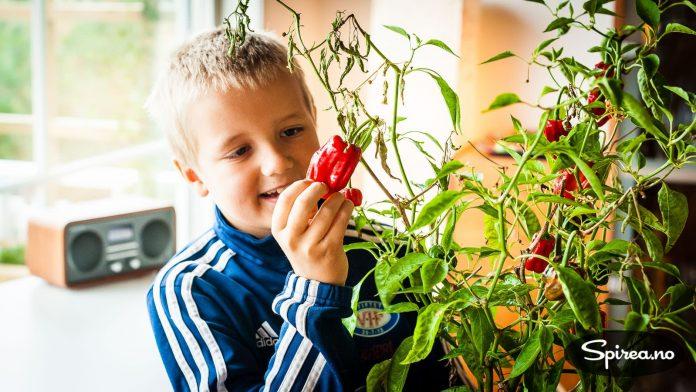 Capsicum-planter er flerårige og du kan få dem til å overleve i årevis hvis du bruker dem som stueplanter.