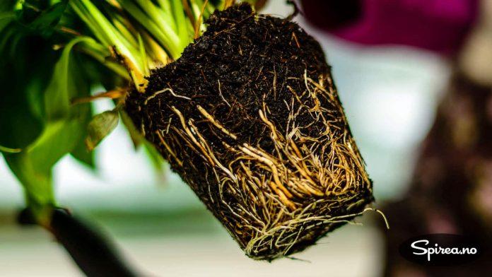 Når røttene ser sånn ut er det på tide å få plantene over i større potter.