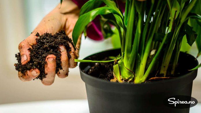 Fyll på med god jord i den nye potten.