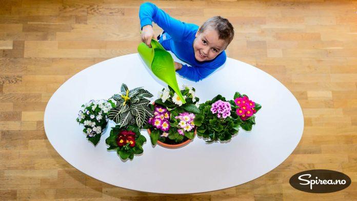 Primula i flere farger, engelsk pelargonia og sinneraria.