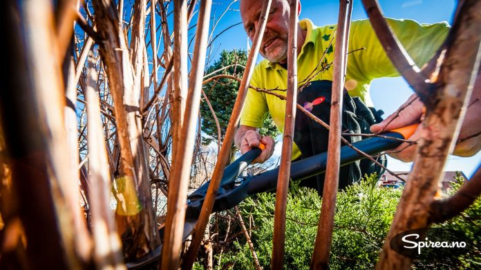 Foryngelsesbeskjæring av en prydbusk gjøres ved at du klipper av de eldste greinene ved basis.