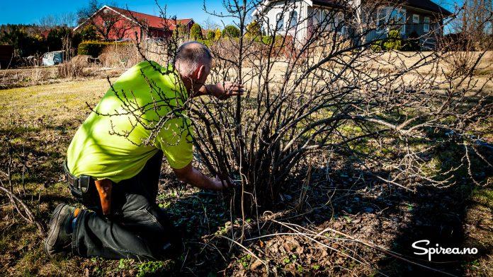 Bærbusker bør foryngelsesbeskjæres for å få mest mulig avling.