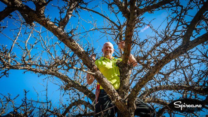 Er det et stort tre, kan det hende du må klatre opp for å få gjort beskjæringen.