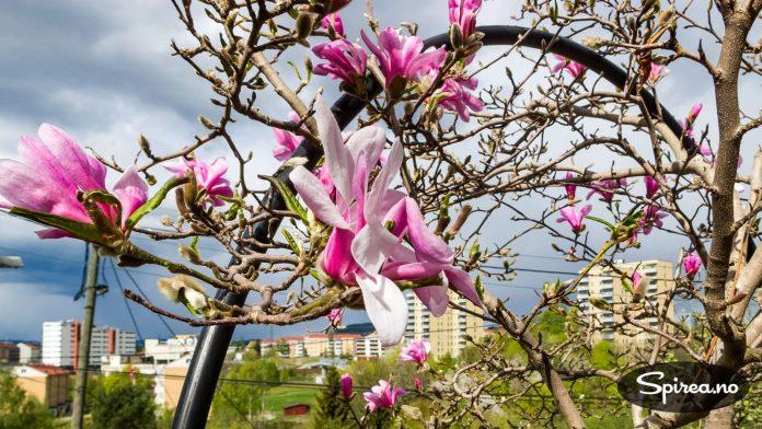 Denne magnoliaen står i en hage i vårt nabolag, vi kjenner dessverre ikke sorten.